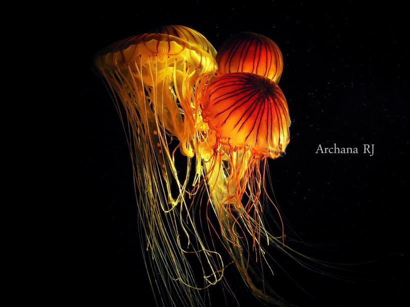 Sea Nettle - Joined together
