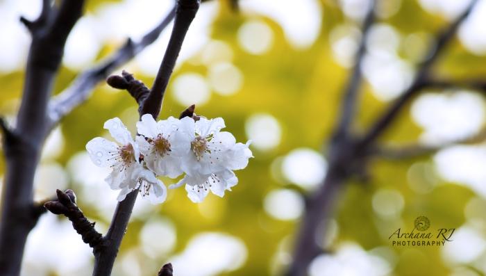 White-Blossom-2014